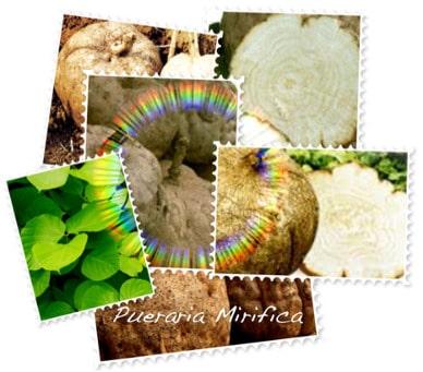 La plante Pueraria Mirifica renferme des principes actifs